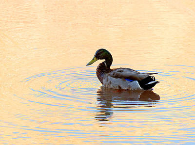 Photograph - Lake Powell Duck by Julie Niemela