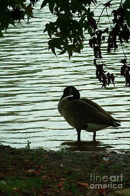 Photograph - Lake Shore Goose Silhouette by Ben Sellars