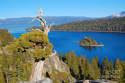 Lake Tahoe Reaching Tree Art Print by Debra Thompson