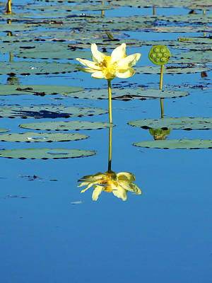 Lake Thomas Water Lily Art Print by Chris Mercer