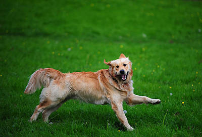 Golden Retriever Photograph - Lalala Happy Sunday. Golden Retriever by Jenny Rainbow