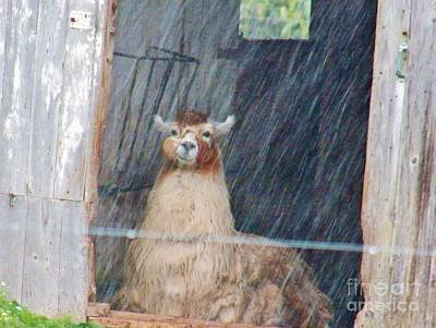 Photograph - Lama In The Rain by Judy Via-Wolff