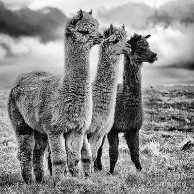 Llama Wall Art - Photograph - Lama Lineup by John Farnan