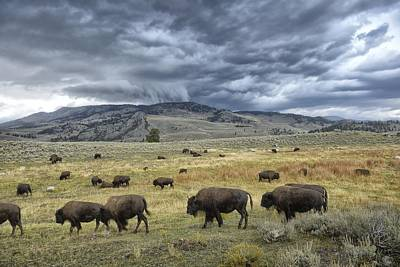 Bison Photograph - Lamar Valley Bison by Christian Heeb