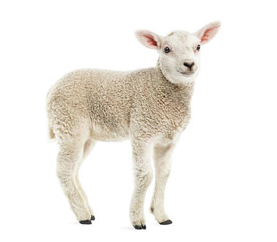 Lamb 8 Weeks Old Isolated On White Art Print by Life On White