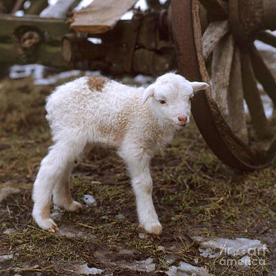 Photograph - Lamb by Hans Reinhard Okapia