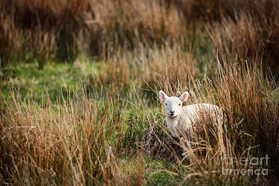 Sottish Photograph - Lamb by Kristina Koehler