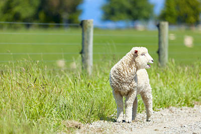 New Zealand Photograph - Lamb On The Farm by Alexey Stiop