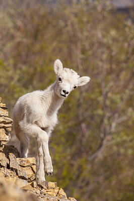 Sheep Portrait Photograph - Lamb On The Rocks by Tim Grams