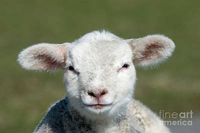 Photograph - Lamb Portrait by Tierbild Okapia