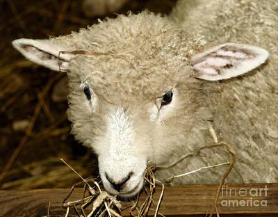 Lamb Art Print by Raymond Earley