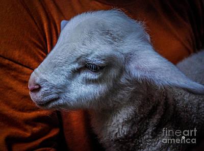Photograph - Lamb by Ronald Grogan