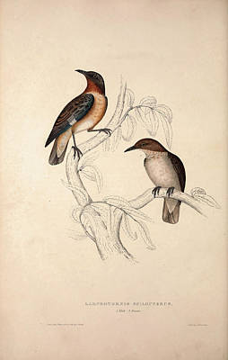 Asian Artist Drawing - Lamprotornis Spilopterus, Winged Starling. Birds by Quint Lox