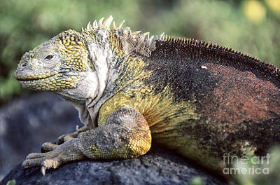 Land Iguana Photograph - Land Iguana by Art Wolfe