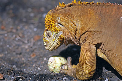 Land Iguana Photograph - Land Iguana Eating Cactus by M. Watson