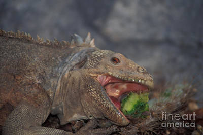 Land Iguana Photograph - Land Iguana Eating Cactus by Ron Sanford
