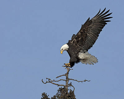 Eagle Digital Art - Landing Eagle- Abstract by Tim Grams