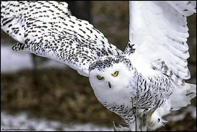 Fox Photograph - Landing Of The Snowy Owl Where Are You Harry Potter by LeeAnn McLaneGoetz McLaneGoetzStudioLLCcom