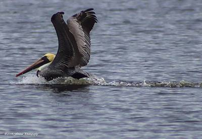 Photograph - Landing Pelican  by Debra Forand