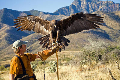 Falconry Photograph - Landing Two by Randall Ingalls