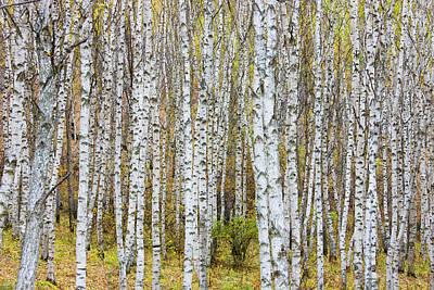 Autumn Photograph - Landscape Of Birch Forest by Keren Su