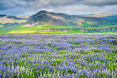 Photograph - Landscape With Blue Flowers In Iceland by Matthias Hauser
