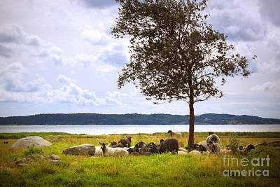 Photograph - Landscape With Sheep by Lutz Baar