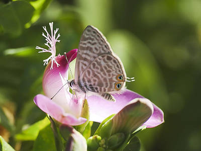 Photograph - Lang's Short-tailed Blue II by Meir Ezrachi