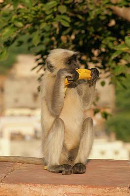 Jaipur Photograph - Langur Monkey, Amber Fort, Jaipur by Inger Hogstrom