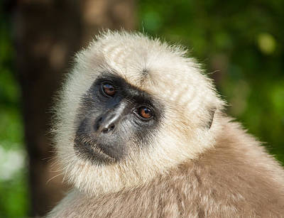 Photograph - Langur Monkey Up Close by Nila Newsom