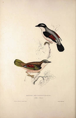 Asian Artist Drawing - Lanius Erythropterus, Himalayan Shrike-babbler. Birds by Quint Lox