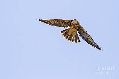 Birds Of Israel Photograph - Lanner Falcon Falco Biarmicus 2 by Eyal Bartov