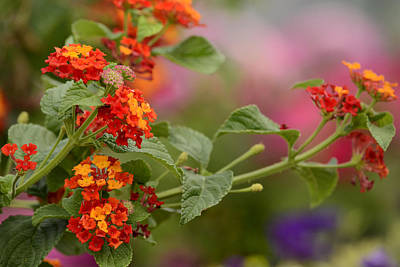 Photograph - Lantana by Ann Bridges