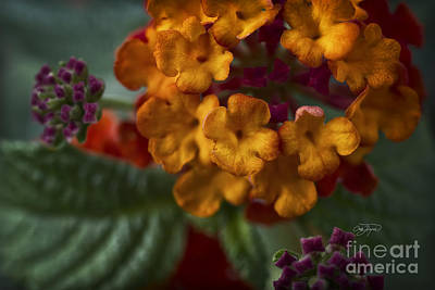 Photograph - Lantana by Cris Hayes