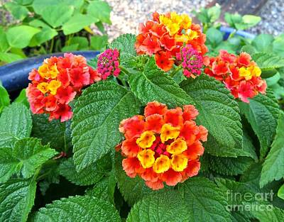 Photograph - Lantana In Bloom  by Nancy Patterson