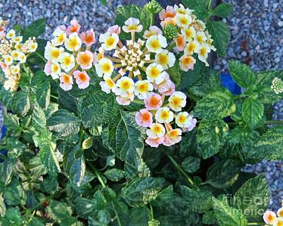 Photograph - Lantana by Nancy Patterson
