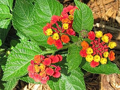 Photograph - Lantana Spring-1 by Doug Morgan