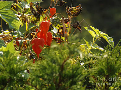 Photograph - Lantern Plant by Brenda Brown