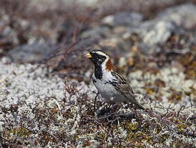 Photograph - Lapland Longspur by Doug Lloyd