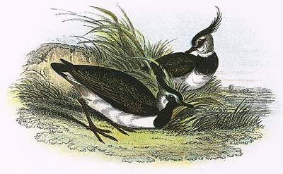 Lapwing Print by English School