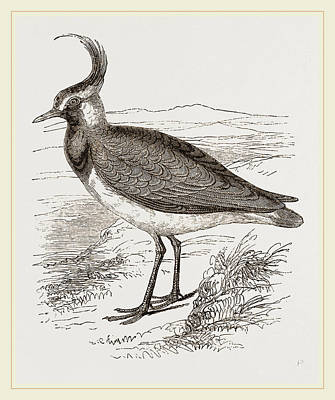 Lapwing Wall Art - Drawing - Lapwing by Litz Collection