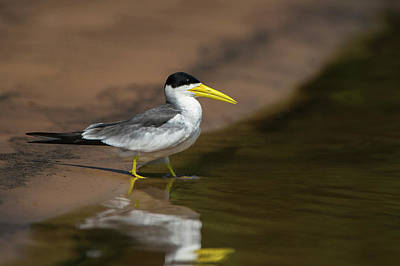 Mato Photograph - Large-billed Tern (phaetusa Simplex by Pete Oxford