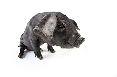 Angle Fishes Photograph - Large Black Piglet by John Daniels