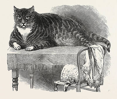 Large Cat, 1850. This Noble Specimen Of The Cat Art Print by English School