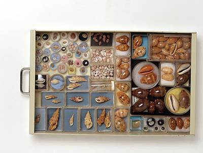 Large Collection Of Shells In Drawer Print by Dorling Kindersley/uig