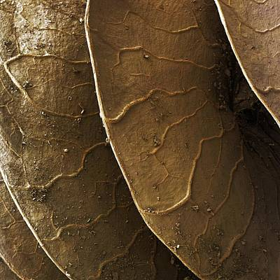 Medicago Orbicularis Photograph - Large Disc Medick Seed Pod, Sem by Power And Syred