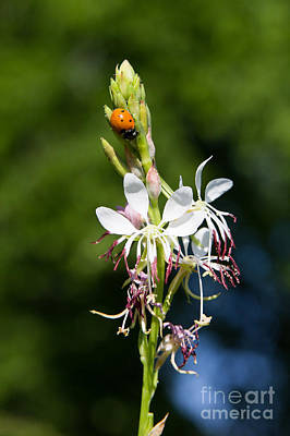 Photograph - Large Flowered Gaura by Jim McCain