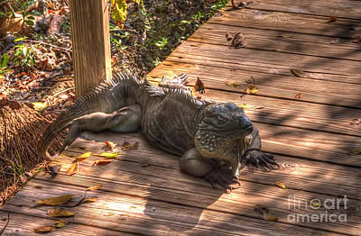 Photograph - Large Iguana by Dan Friend