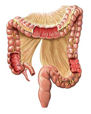 Sigmoid Colon Photograph - Large Intestine by Asklepios Medical Atlas