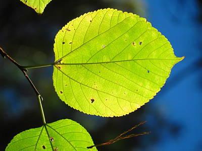 Photograph - Large Leaf by Teresa Cox
